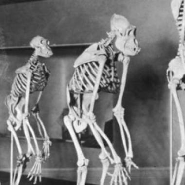 """نظريّة """"تنسف"""" داروين: البشر سبقوا القردة؟"""
