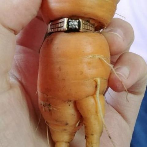 فقدت خاتم زواجها منذ عقد وعثرت عليه ملتفا على جزرة!