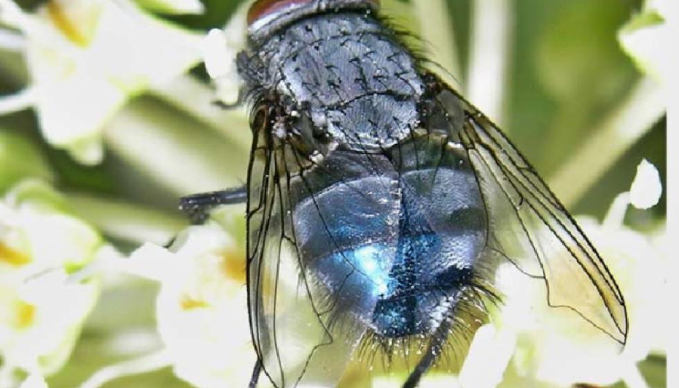 الذباب الازرق اكثر خطراً من التهاب الكبد؟